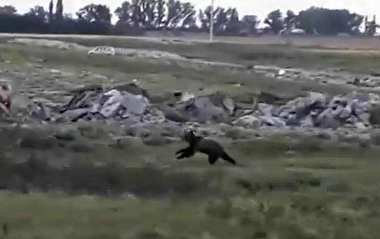 Ursul rătăcit: autoritățile îndeamnă la precauție
