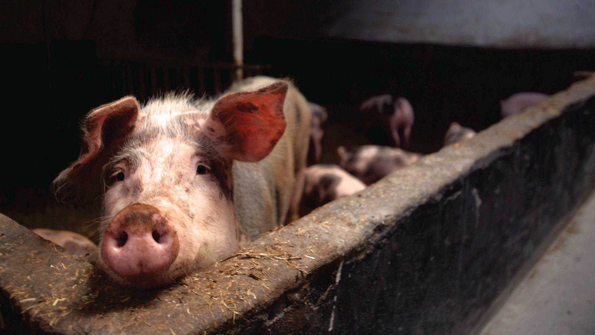 Suspiciune de pestă porcină la Pecica: se vor monta filtre la intrările în oraș