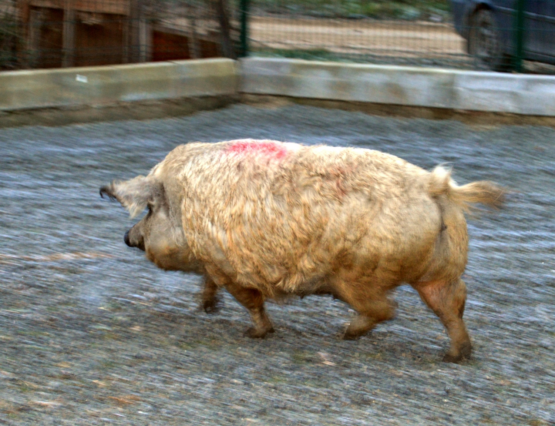 Direcţia Sanitară Veterinară a ridicat restricţiile cauzate de pesta porcină