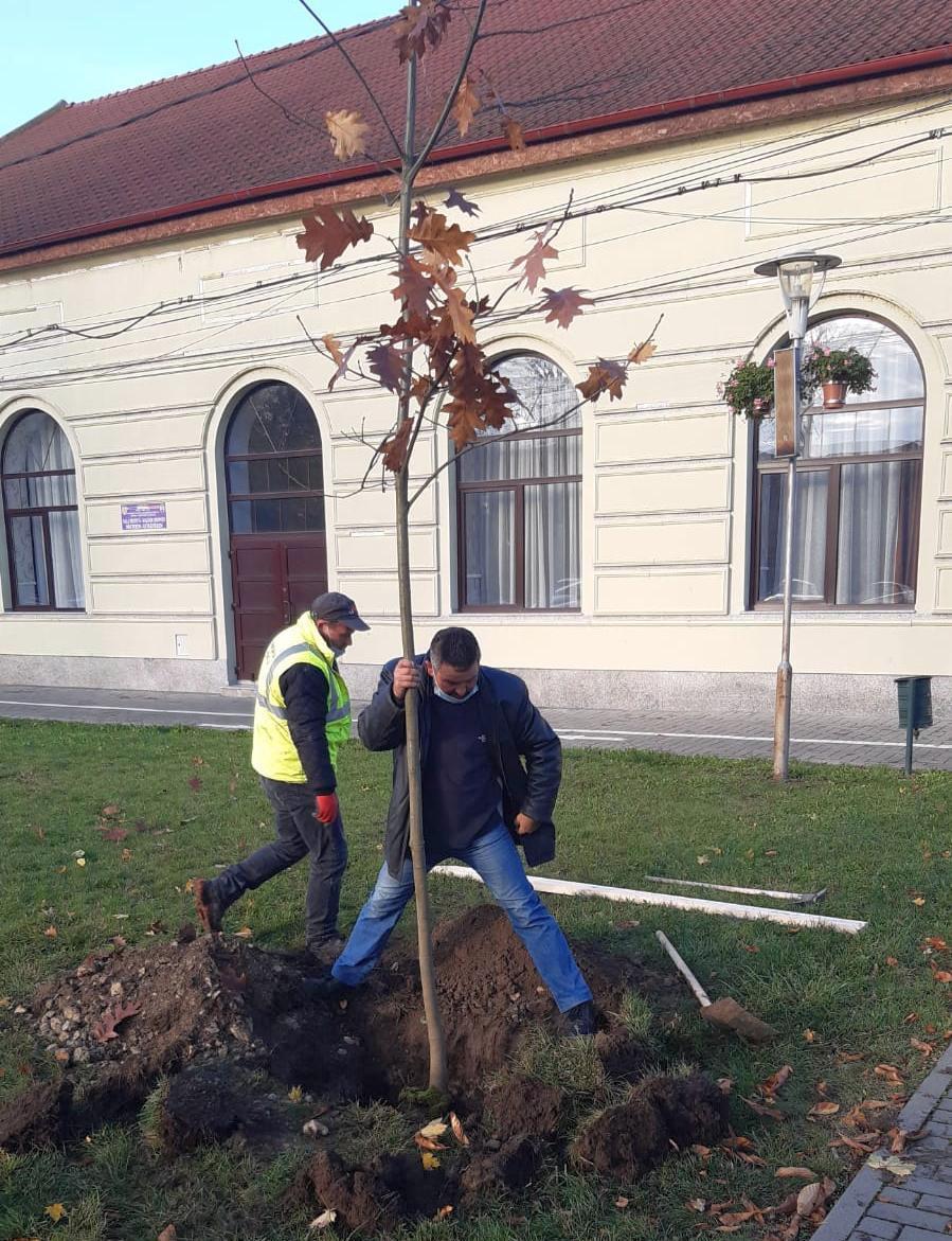 Al doilea stejar regal din oraș